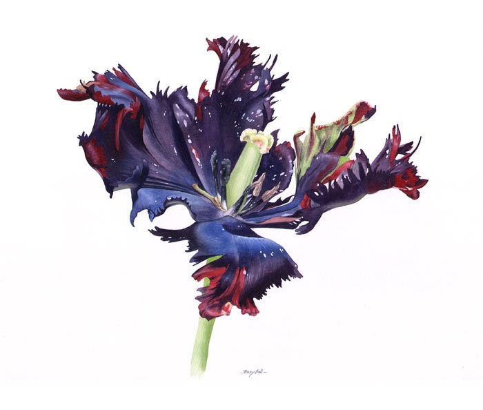 black tulip watercolour painting by tracy hall
