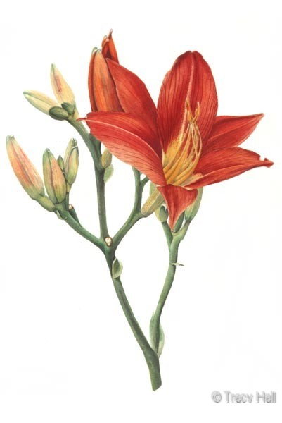 bronze lily watercolour flower painting by tracy hall