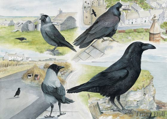 Jackdaw Rook Crows And Raven