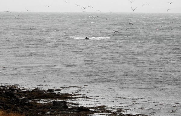 whales in scapa flow
