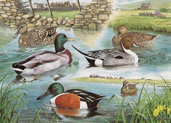 Mallard Pintail And Shoveller Ducks