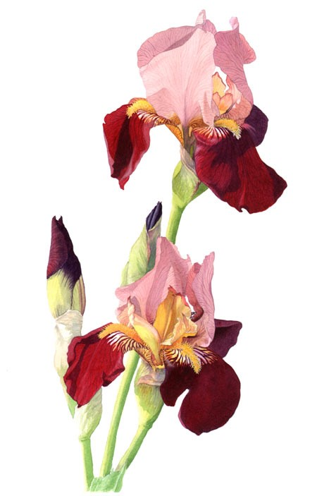 maroon iris watercolour painting by tracy hall