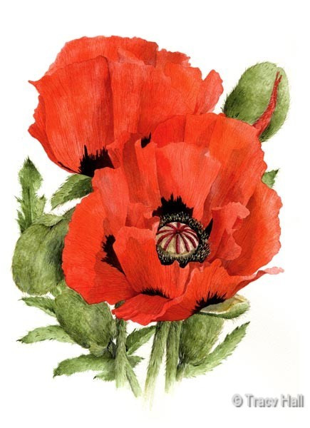 Red Oriental Poppy