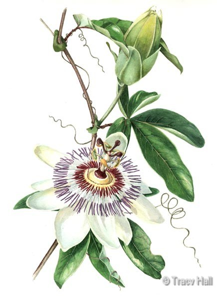 passion flower watercolour flower painting by tracy hall