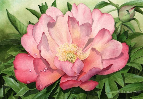 peony julia rose watercolour flower painting by tracy hall