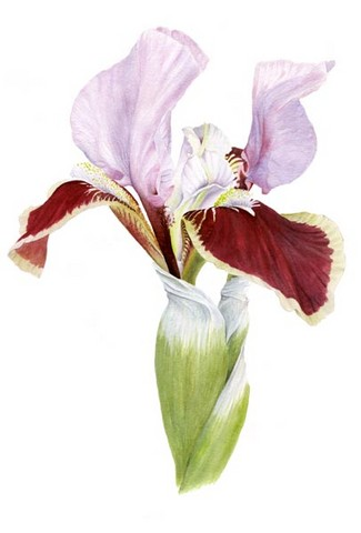 lilac iris watercolour flower painting by tracy hall