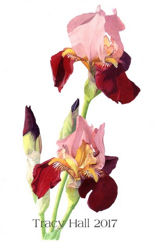 maroon bearded iris watercolour flower painting by tracy hall