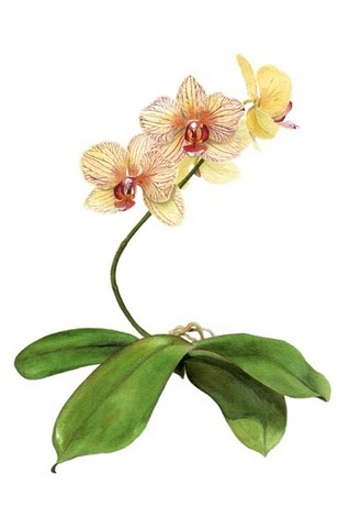 moth orchid watercolour painting by tracy hall