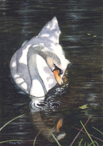 mute swan miniature painting by Tracy Hall