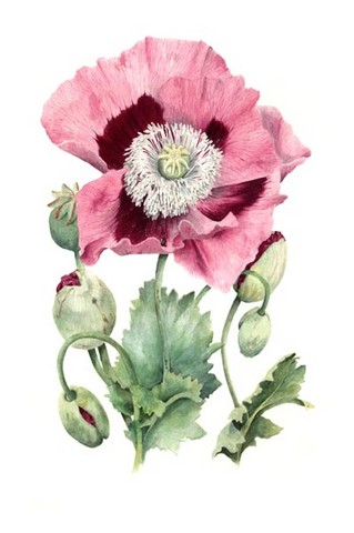 opium poppy watercolour flower painting by tracy hall