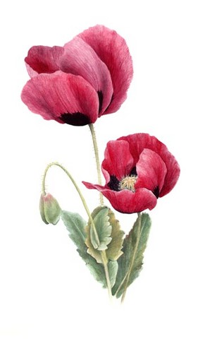 Pink poppies watercolour flower painting by tracy hall