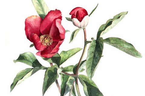 peony watercolour flower painting by tracy hall