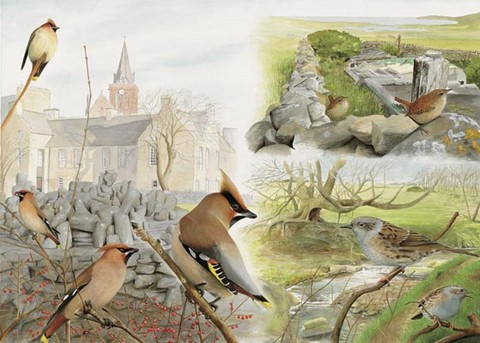 Waxwing,wren,dunnock, watercolour painting by Tracy Hall Orkney Book of Birds