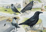corvids - raven, crows and rook watercolour painting by Tracy Hall Orkney Book of Birds