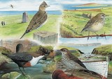dipper, skylark , pipit watercolour painting by Tracy Hall Orkney Book of Birds
