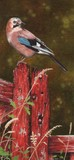european jay miniature painting by TRacy Hall