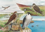 kestrel, merlin and peregrine watercolour painting by Tracy Hall Orkney Book of Birds