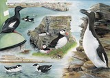 Puffin, guillemot and Auk watercolour painting by Tracy Hall Orkney Book of Birds