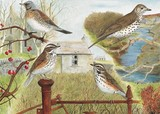 redwing, fieldfare and thrush watercolour painting by Tracy Hall Orkney Book of Birds