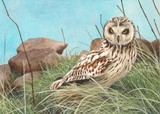 Short eared owl miniature painting by tracy hall