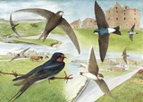 swallow, swift and martin watercolour painting by Tracy Hall Orkney Book of Birds