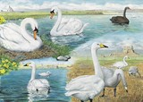 Swans watercolour painting by Tracy Hall Orkney Book of Birds