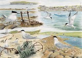 Terns watercolour painting by Tracy Hall Orkney Book of Birds